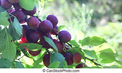 branches of a plum tree with ripe fruits ,