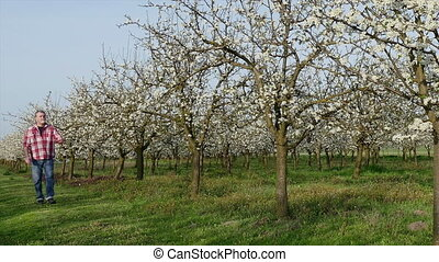 Agriculture, farmer in blossoming plum orchard