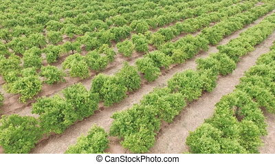 Aerial view of orange tree field - Top view of orange tree...