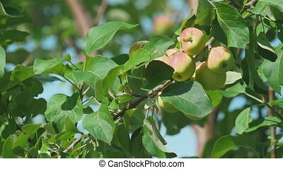 Yellow-red apples on a tree