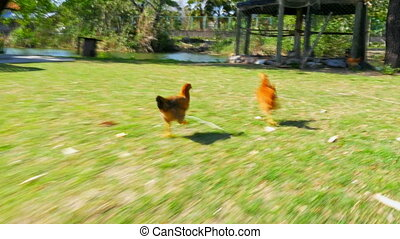 quot;chasing chicken cock outdoor, funny running...