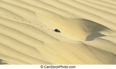 Scarab beetle in desert - Scarab beetle crowling on the sand...