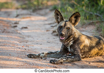 Laying African wild dog in the Kruger National Park, South...