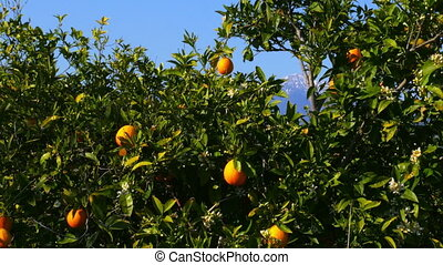 """Winter change, Spring coming, orange trees over snowy..."