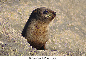 young fur seal - Young New Zealand fur seal, Arctocephalus...