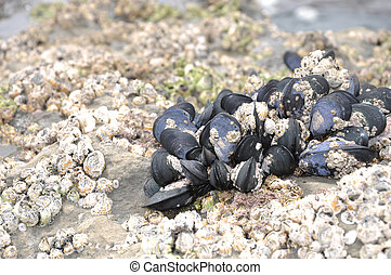 mussels at beach - colony of little black mussels,...