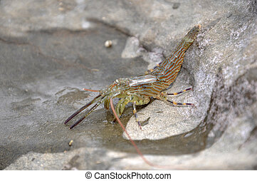 Moana township - glass shrimp, Palaemon affinus, in a rock...