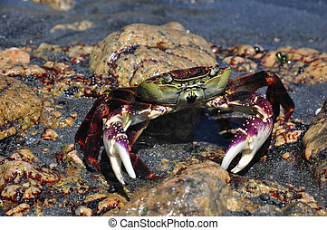 purple rock crab, leptograpsus variegatus, Westland,South...
