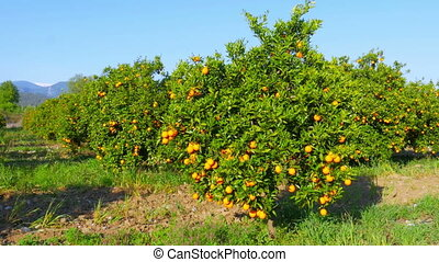 """orange fruit at branch of tree, spring season, sunny day"""