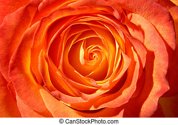 Orange Rose - Orange rose top view closeup macro background