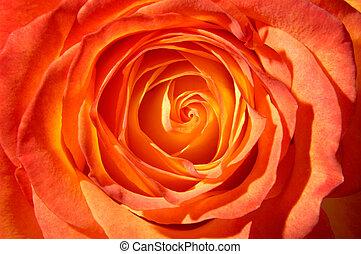 Orange Rose - Orange rose top view closeup macro background