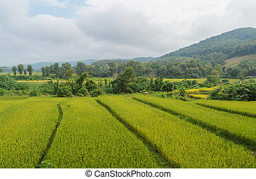 Natural green rice field in nan thailand