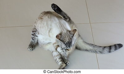Beautiful Thai cat licks his body. - Beautiful Thai cat...