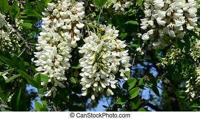 Beautiful black locust blossom swaying in wind with a bee -...