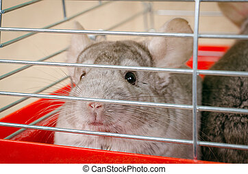 Chinchilla in cage - Chinchilla sit and watch in the cage
