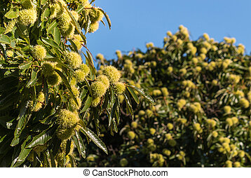 sweet chestnut trees in autumn - closeup of sweet chestnut...