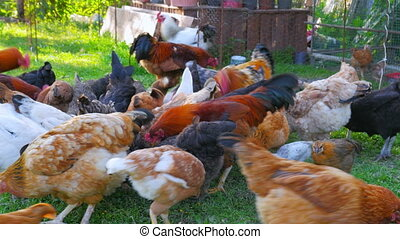 """organic chicken farm, domestic chick livestock farming..."