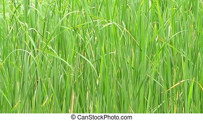 Lush green reed swaying in breeze and filling the frame -...