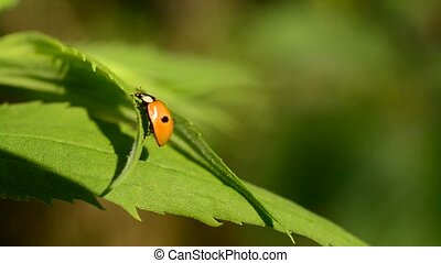 Two-spotted ladybird beetle unfolds and folds its wings -...