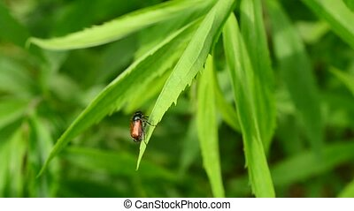 Scarab beetle grooms itself on goldenrod plant and flies...