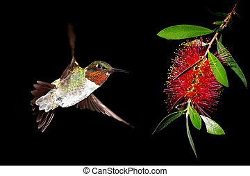 Hummingbird with Bottlebrush flower over black background -...
