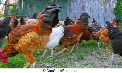 quot;organic chicken farm, domestic chick livestock farming...