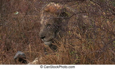 African Lion hiding for heavy rain - African Lion Panthera...