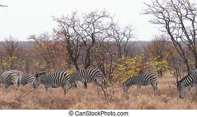 Plains Zebra grazing - Plains Zebra (Equus quagga burchellii...