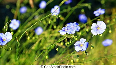 Meadow of blooming blue flaxes