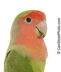 Peach faced Lovebird - Peach-faced Lovebird in front of...