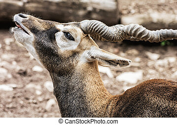 Blackbuck portrait Antilope cervicapra, animal scene, curled...