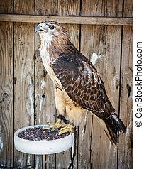 Profile of a Golden eagle Aquila chrysaetos, animal scene -...