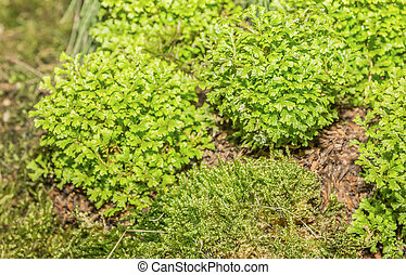 Moss, Leaf on Moss, Moss autumn, forest moss, moss seeds,...