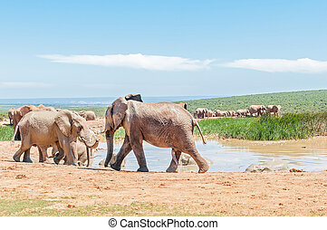 Large group of mud colored elephants - A large group of mud...
