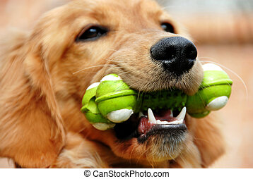Golden retriever with toy - golden retriever young dog...