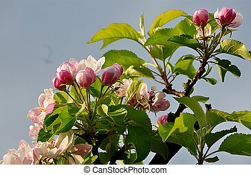flowered tree - apple