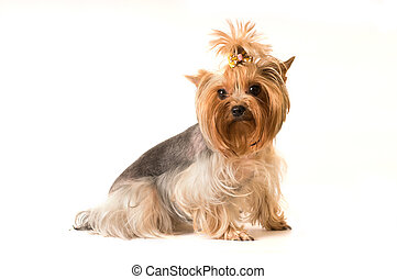 yorkshire terrier portrait in studio isolated on white
