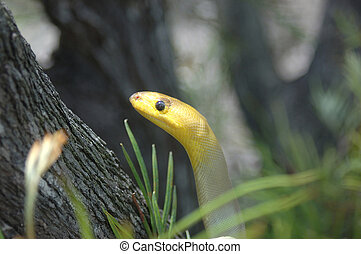 investigating - Portrait of South Australian woma python,...
