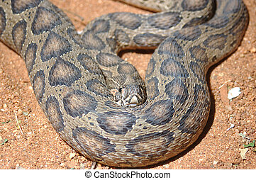 Russell's Viper - Adult Russell's Viper, Daboia russelii,...