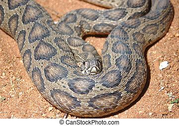 Russells Viper - Adult Russells Viper, Daboia russelii,...