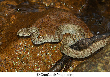 Saw-scaled Viper - Saw-scaled viper, Echis carinatus, in...