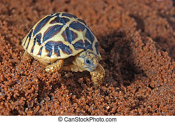 on the go - Indian Starred Tortoise, Geochelone elegans,...
