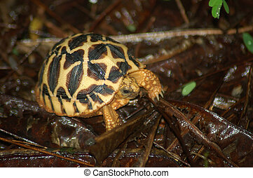 Starred Tortoise - Indian Starred Tortoise, Geochelone...