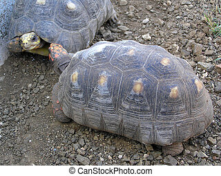 red-footed tortoise - Red-footed tortoise, Geochelone...