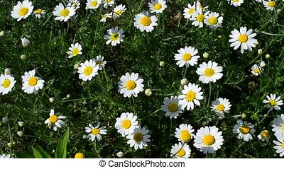 Close-up of white, yellow and green daisy flowers in meadow...