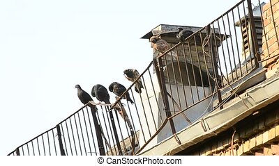 Pigeons sit on roof enclosure in the morning cleaning...