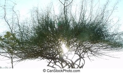 Silhouette tree - Dramatic silhouette tree in a garden at...