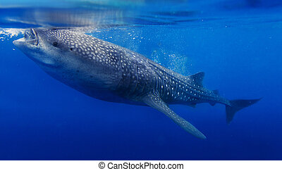 Underwater shoot of a whale shark - Underwater shoot of a...