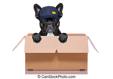 moving box dog - mail delivery french bulldog dog inside a...