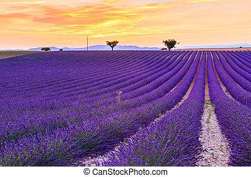 Lavender field summer near Valensole - Lavender field summer...